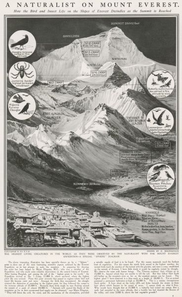 Illustration showing Mount Everest and the wildlife seen there in 1924