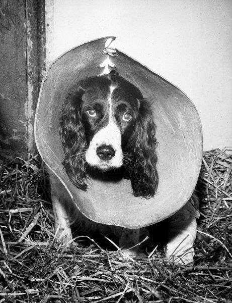 This unhappy-looking dog is wearing this medical collar to stop it scratching. Date: circa 1960