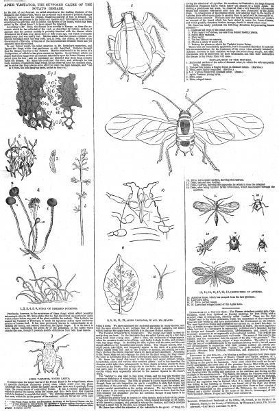 These are illustrations of Aphis Vastator, the supposed cause of the potatoe disease which struck Ireland in the mid-nineteenth century with terrible consequences