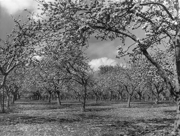 A glorious array of apple trees in blossom in an orchard in Kent, England. Date: 1960s