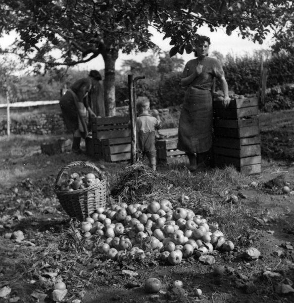 A bucolic scene depicting apple picking in an unknown countryside location. c.1947