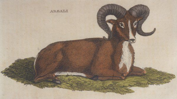 Argali sheep, a member of the sheep family, lying down; excessive hunting has turned it into an endangered species