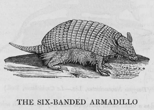 SIX-BANDED ARMADILLO dasypus sexcinctus Found in Brazil and Guiana : about the size of a young pig