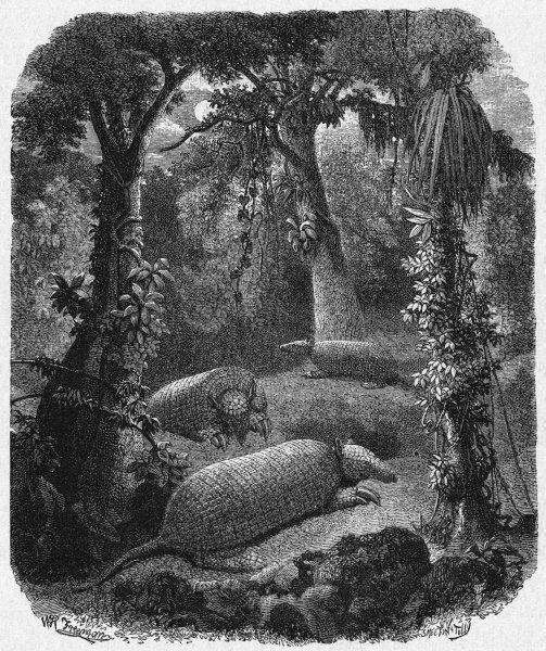 Armadillos in their native habitat in the jungles of South America