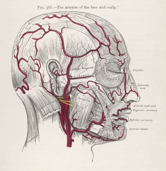 The arteries of the face and scalp