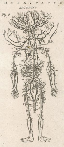 A diagram showing the arteries of the human body