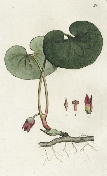 Asarabacca - Asarum Europaeum. Coloured engraving by Johan Wilhelm Palmstruch, (1770-1811), Date: 1800s