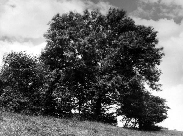 The Ash tree in Summer. Date: 1930s