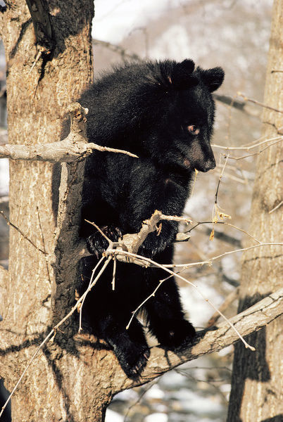 asiatic black bear japanese subspecies perched in tree