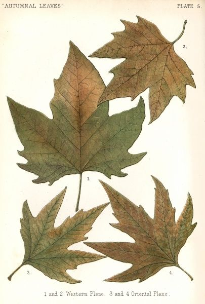 Western plane and oriental plane tree leaves Date: 1885