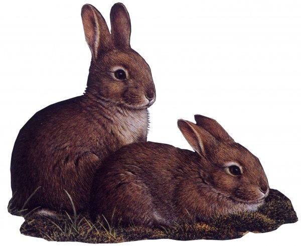 Two young rabbits. Painting by Malcolm Greensmith