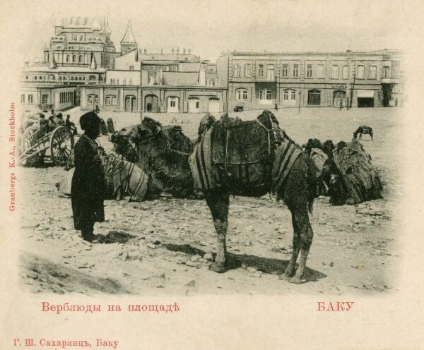 A camel train at rest in Baku, Azerbaijan