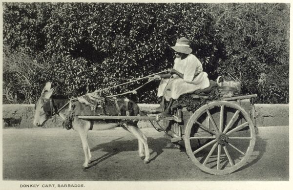 Bajan Woman driving a small donkey cart, Barbados. Date: circa 1910s
