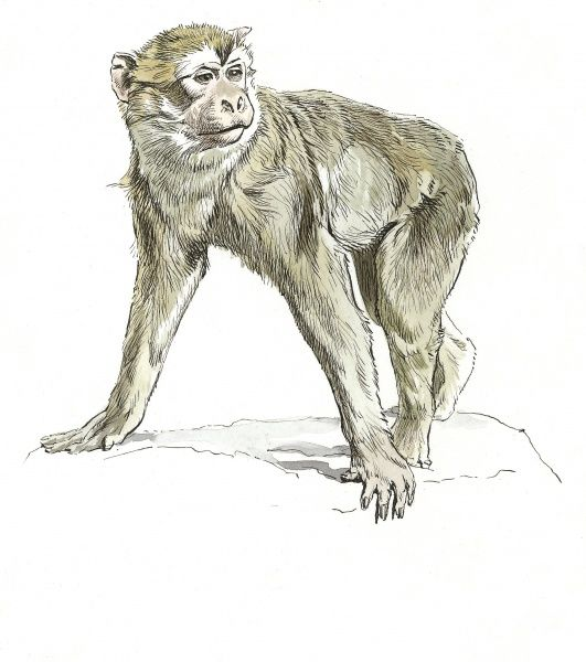 Barbary Ape or Macaque. Despite its name it is a monkey, not an ape