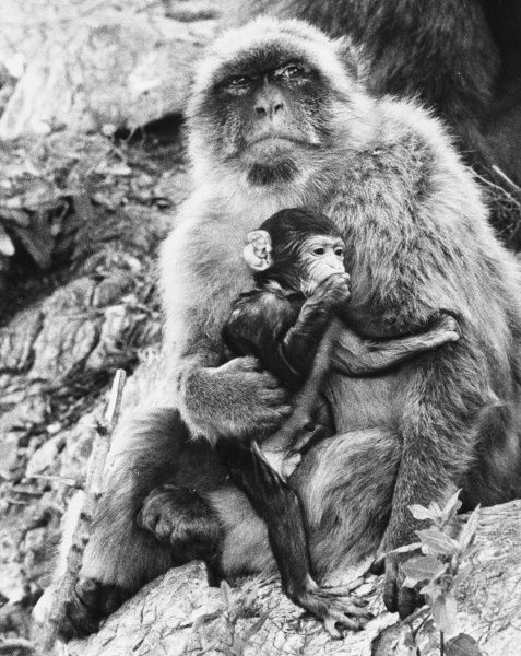 A proud mother Barbary Ape and her baby ape on the Rock of Gibraltar. Date: late 1960s