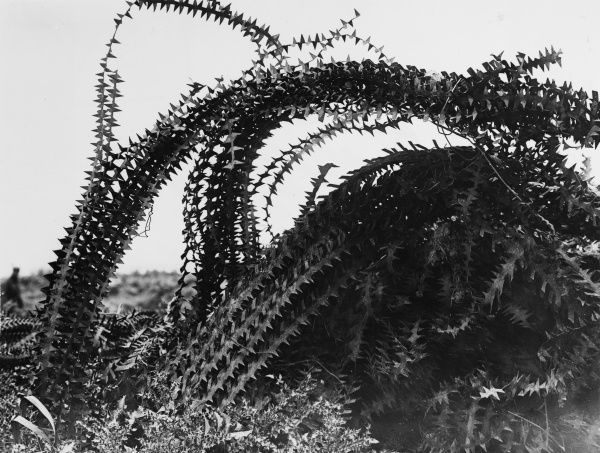 German barbed wire entanglement near Arras on the Western Front in France during World War I in June 1917