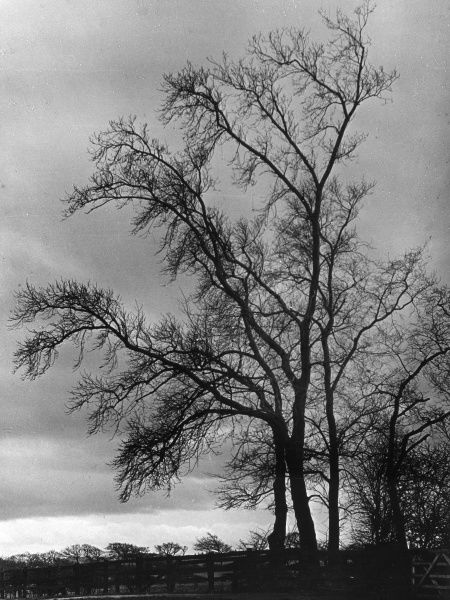 'The Bare Trees of Winter'. Date: 1960s