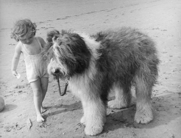A little girl in a bathing costume, out for walk with her Old English Sheepdog on the beach. Date: 1950s