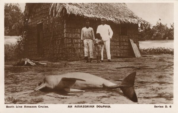A beached Amazon river dolphin, a freshwater river dolphin endemic to the Orinoco, Amazon and Araguaia/Tocantins River systems of Brazil, Bolivia, Peru, Ecuador, Colombia and Venezuela. Date: circa 1910s