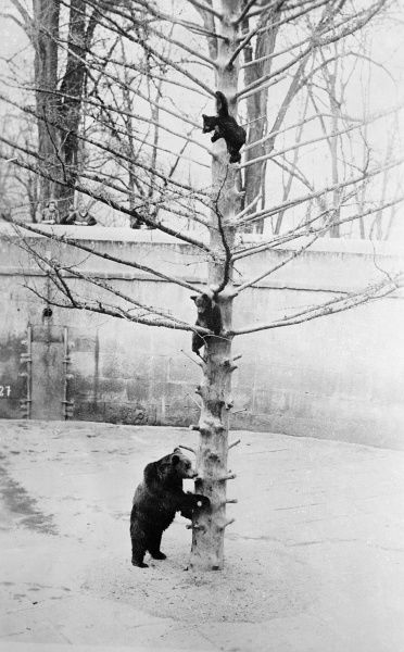 Three bears climb a tree in the snow. Date: 1930s