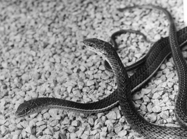 Beauty Snakes at Chester Zoo, Cheshire, England. Date: 1960s
