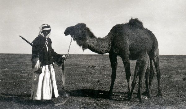A Bedouin man with a camel and its calf, in the desert somewhere in the Middle East. The man has a rifle slung across his back