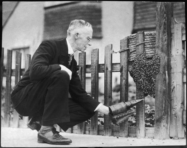 A bee keeper in a suit smokes straggling bees back into their hive with the aid of a pair of small smoking bellows