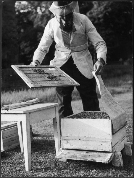 A beekeeper wearing protective gloves, jacket, hat and veil removes the Queen Excluder grid from the Brood Box