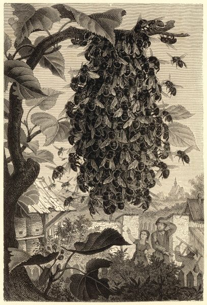 Bees leave their hive and form a large swarm on the branch of a tree. Two agricultural types look on in amazement