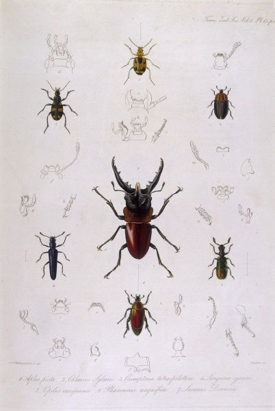 Stag beetle (lucanus) and other beetles. Date: 1835