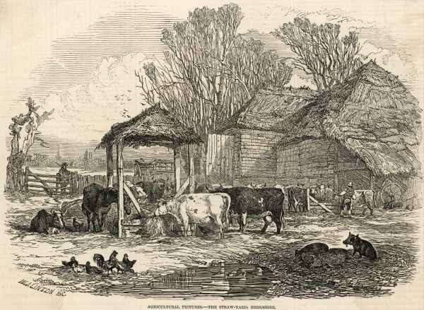 Cattle, pigs and poultry in the straw-yard of a farm in Berkshire : note the thatched barn and manger