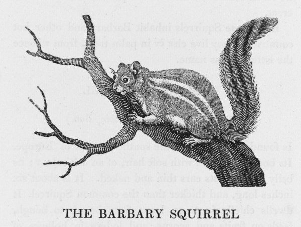 (sciurus getulus) An attractive rodent, about the same size as the common grey squirrel