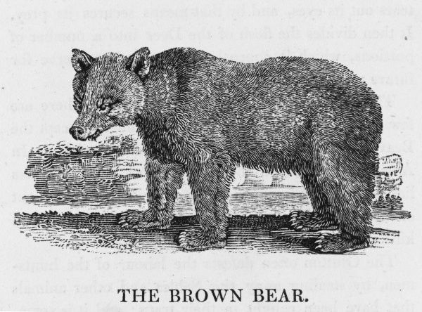 Bewick deascibes the Brown Bear as a savage and solitary animal