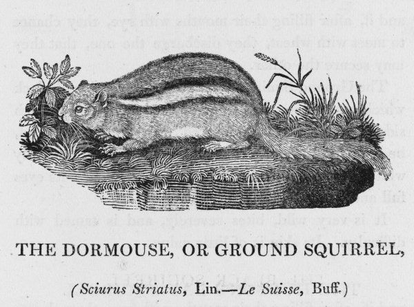 (tamias striatus) Bewick calls this 'the dormouse or ground squirrel' but it seems to be identical with the North American Eastern Chipmunk