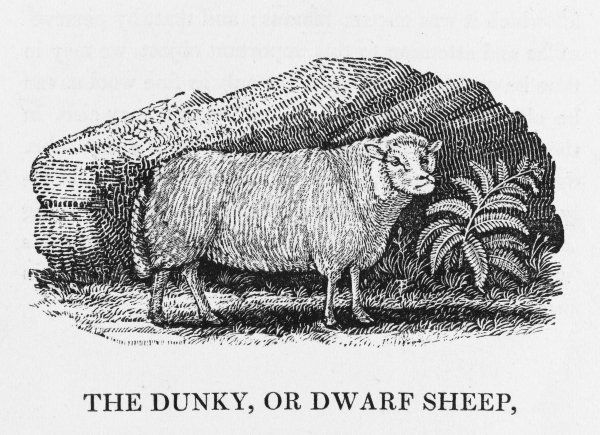 The dunky is a species of DWARF SHEEP found in Lincolnshire. It has no horns and has an unusual head