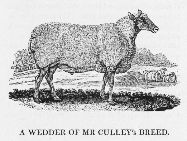 This sheep was bred by Mr Culley in Northumberland
