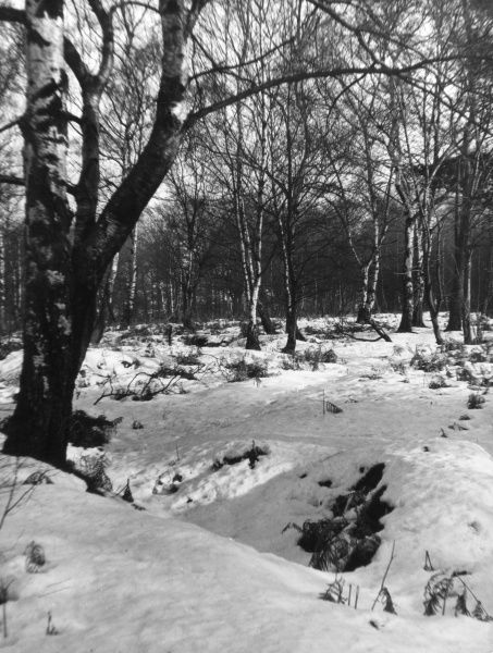 Snow patterns in a birch wood. Date: 1930s