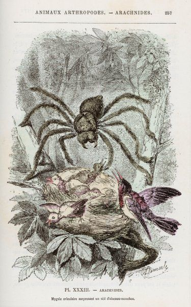 A Bird-Eating Spider lives up to its name