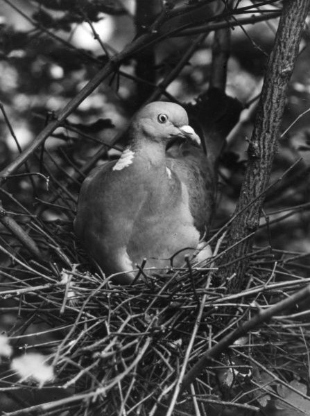 A nesting wood pigeon. Date: 1930s