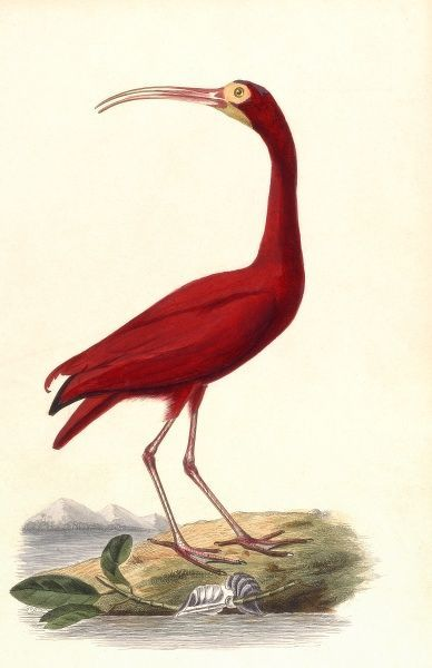 RED IBIS (Ibis species) If those are pyramids in the background, this must be an Egyptian bird, but it's not the Sacred Ibis. Date: circa 1850