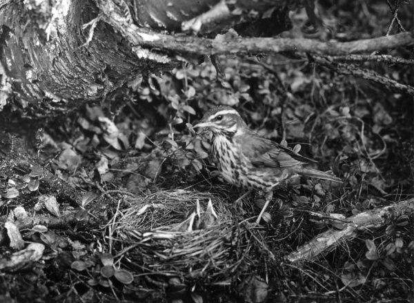 A Redwing and her young in a nest. Date: 1950s