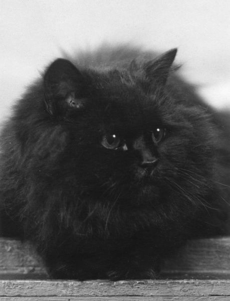 CHAMPION BLACK CAT This large, fluffy cat lies comfortably. Owned by Captain St Barbe. Date: 1935