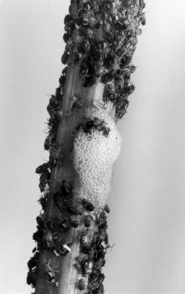 Black fly (aphid) and Cuckoo Spit, common garden pests. Date: 1950s