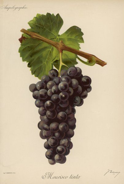 A bunch of black grapes: variety: Mourisco tinti
