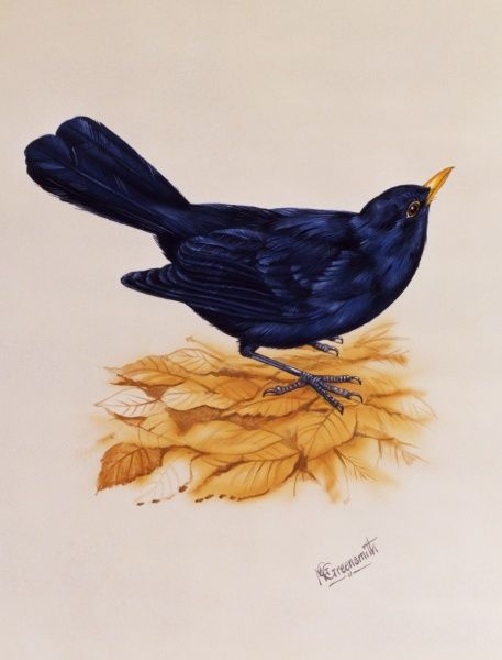 A male Blackbird (Turdus merula) stands on some brown autumnal leaves. Painting by Malcolm Greensmith