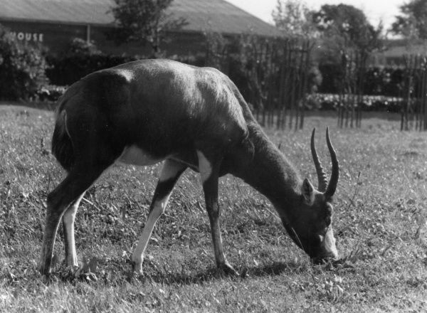 The Blesbok (Damaliscus albifrons) is thought to be the world's only naturally purple animal. They are purplish antelopes with white faces, found in South Africa. Date: 1960s
