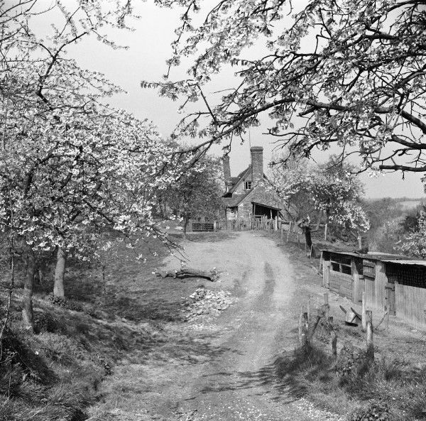 Blossom trees overhanging a pretty country lane in Kent. Photograph by Norman Synge Waller Budd