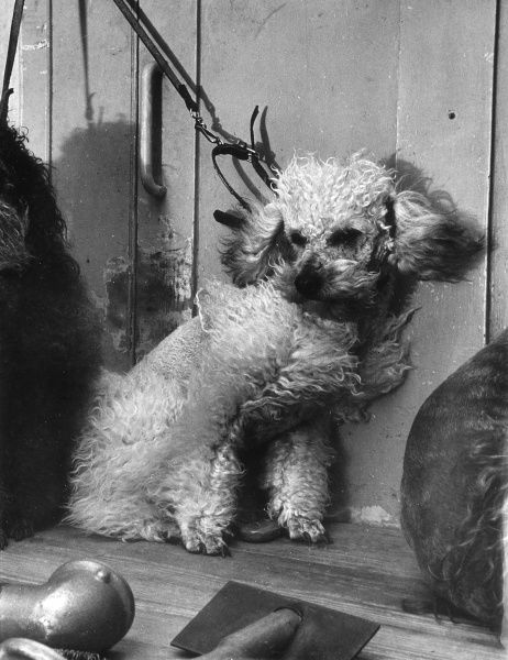 A small white poodle is blow dried having been washed. Date: 1960s