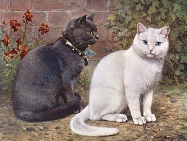 A blue shorthaired cat sits with a white shorthair outdoors. Date: 1903