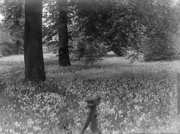 A bluebell wood. Date: early 1930s